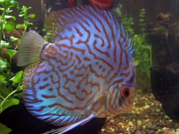 Fish Hits Photos: DISCUS FISH PHOTOS