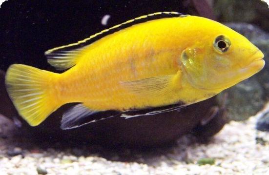 yellow cichlid fish - photo #6