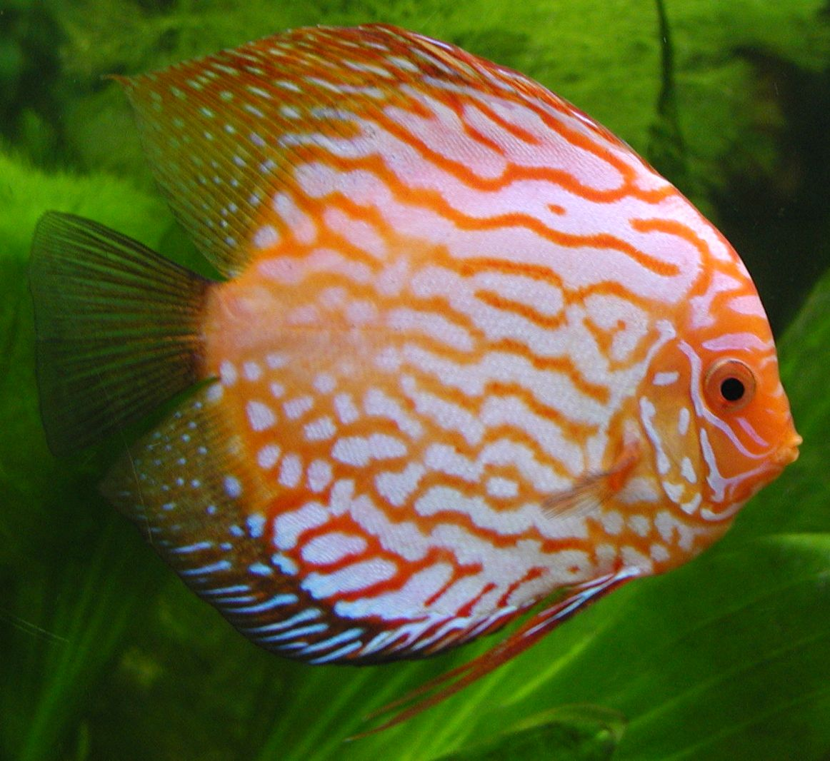 RubinRedPeacock in addition Guzer   pictures record catfish besides Do Oscar Fish Have Teeth further 0Cd5Ea 5Fic further Fish That Looks Like A Dog. on oscar cichlid facts