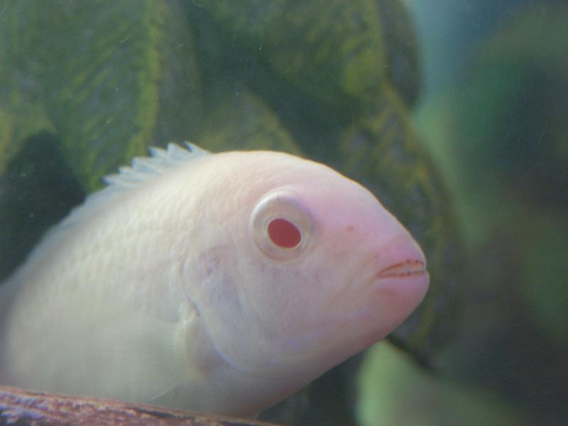 Albino Cichlid